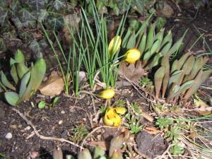 Krokus zeigt das Frühjahr an