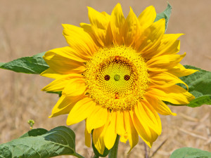 Sonnenblume: Symbol der erneuerbaren Energie und des Ökostroms